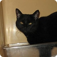 American Shorthair Cat for adoption in Brooklyn, New York - Pepper