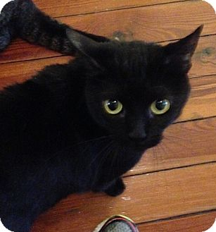 Domestic Shorthair Cat for adoption in Madisonville, Louisiana - Angie
