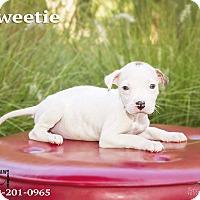 Adopt A Pet :: Sweetie - Terre Haute, IN