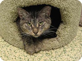 Domestic Shorthair Cat for adoption in Indianapolis, Indiana - Speedy