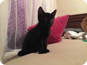 Domestic Shorthair Kitten for adoption in Overland Park, Kansas - Cap'n  Crunchy