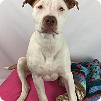 American Staffordshire Terrier/American Pit Bull Terrier Mix Puppy for adoption in Toledo, Ohio - Karma
