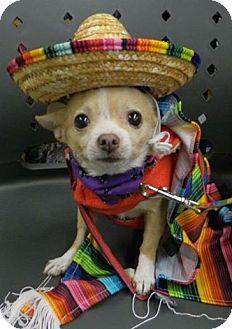 Chihuahua Dog for adoption in Livonia, Michigan - Kaya-ADOPTION PENDING