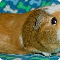 Guinea Pig for adoption in Steger, Illinois - Daisy