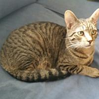Adopt A Pet :: Tybalt - Fairborn, OH