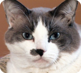 Domestic Shorthair Cat for adoption in Dallas, Texas - Diddy