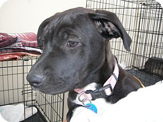 American Pit Bull Terrier/Shepherd (Unknown Type) Mix Puppy for adoption in Las Vegas, Nevada - Sophie