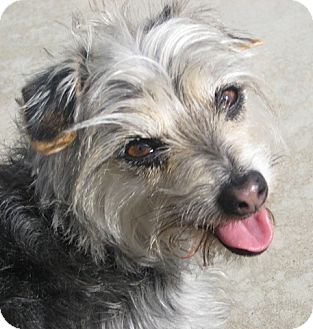 Maltese/Yorkie, Yorkshire Terrier Mix Dog for adoption in San Diego, California - Taco