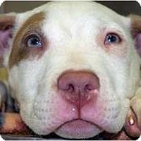 Adopt A Pet :: Petey - Reisterstown, MD