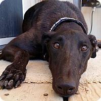 Adopt A Pet :: Apollo - Tucson, AZ
