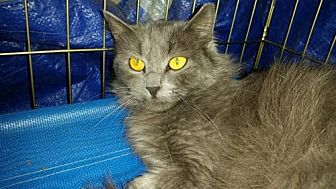 Domestic Mediumhair Cat for adoption in Glendale, Arizona - Arlo