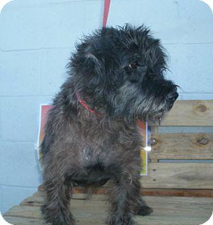 Schnauzer (Standard) Mix Dog for adoption in Jamestown, Tennessee - Mindy