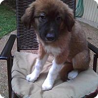 Adopt A Pet :: Aria - Enfield, CT