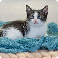 Adopt A Pet :: Lynx - Fort Lauderdale, FL