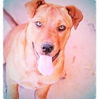 Adopt A Pet :: CHUCK - Friendly! - Chandler, AZ