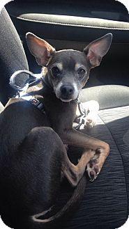 Miniature Pinscher/Chihuahua Mix Dog for adoption in Sanford, North Carolina - Pinto