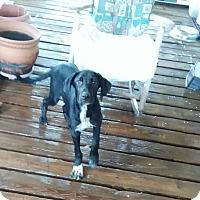 Adopt A Pet :: marmaduke - springtown, TX