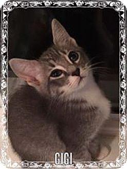 Domestic Shorthair Kitten for adoption in Tega Cay, South Carolina - Gigi