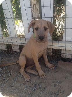 Schnauzer (Standard)/German Shepherd Dog Mix Puppy for adoption in BONITA, California - Lilly