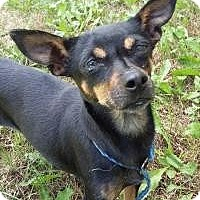 Miniature Pinscher Mix Dog for adoption in fort wayne, Indiana - Minnie Mouse