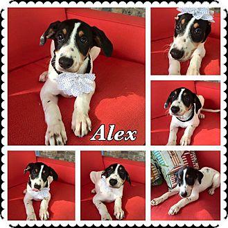 Hound (Unknown Type) Mix Puppy for adoption in Lexington, Kentucky - Alex