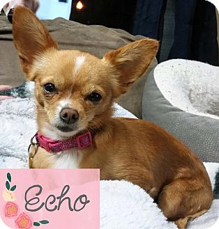 Chihuahua Mix Dog for adoption in Kamloops, British Columbia - Echo