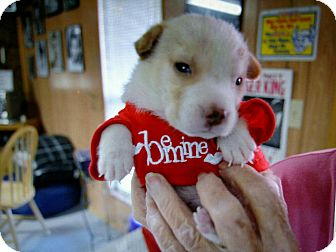 Australian Shepherd Mix Puppy for adoption in Houston, Texas - Hank