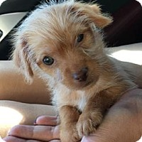 Yorkie, Yorkshire Terrier/Chihuahua Mix Puppy for adoption in Deerfield Beach, Florida - Monkey