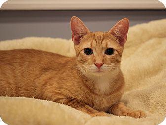 Domestic Shorthair Kitten for adoption in Carlisle, Pennsylvania - Cedric