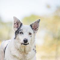 Adopt A Pet :: Magic Piglet - McKinney, TX