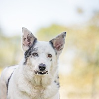 Australian Cattle Dog Dog for adoption in McKinney, Texas - Magic Piglet