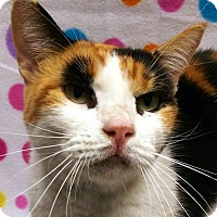 Calico Cat for adoption in Watauga, Texas - Po