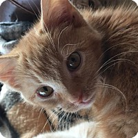 Domestic Shorthair Cat for adoption in Flint HIll, Virginia - Cheeto