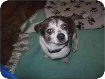 Chihuahua Mix Dog for adoption in Barrie, Ontario - Sonny