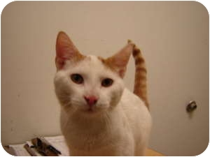 Domestic Shorthair Cat for adoption in Cleveland, Ohio - Milo