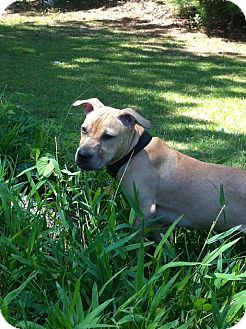 American Pit Bull Terrier/Boxer Mix Puppy for adoption in Atlanta, Georgia - Lilli