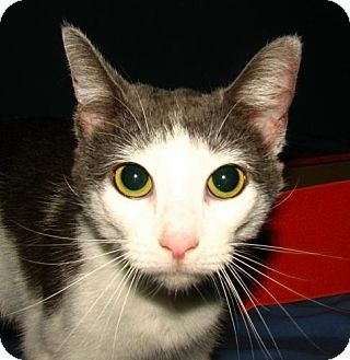 Domestic Shorthair Cat for adoption in Oxford, New York - Avery