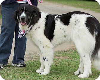 ... *Adopted | Adopted Dog | Tulsa, OK | Great Pyrenees/Newfoundland Mix