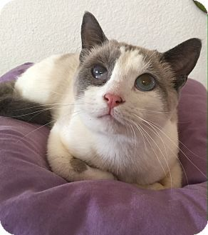 Siamese Cat for adoption in Riverside, California - Rosie