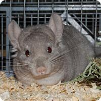 Adopt A Pet :: 4-5 mo beige female chinchilla - Hammond, IN