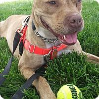 Adopt A Pet :: Maia - Brattleboro, VT