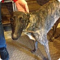 Adopt A Pet :: Will Nicki - Gerrardstown, WV