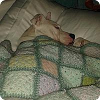 American Staffordshire Terrier/Australian Shepherd Mix Dog for adoption in Mishawaka, Indiana - Sienna