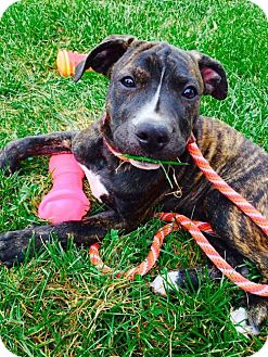 Boxer/American Bulldog Mix Puppy for adoption in Columbia, Maryland - Winifred Sanderson