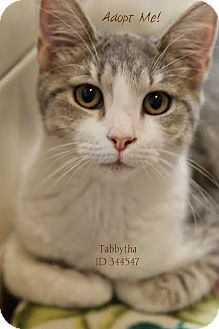 Domestic Shorthair Kitten for adoption in Camden, Delaware - Tabbytha