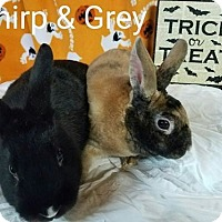 Adopt A Pet :: Gray and Chirp - Williston, FL