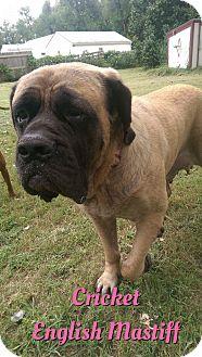 English Mastiff Dog for adoption in Cheney, Kansas - Cricket