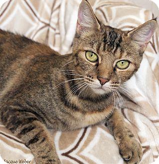 Domestic Shorthair Cat for adoption in St Louis, Missouri - Lana