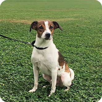Whippet/Beagle Mix Dog for adoption in Fishers, Indiana - Diesle