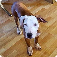 Adopt A Pet :: Phoebe - Northeast, OH